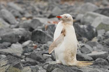 Gentoo Penguin (Pygoscelis papua) albino, adult, standing on rocks, Waterboat Point, Antarctic Peninsula, Antarctica, January  -  Kevin Elsby/ FLPA