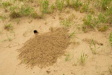 Ord's Kangaroo-rat (Dipodomys ordii) freshly excavated burrow with characteristic earth fan, in sand dunes on prairie, Great Sandhills, Alberta, Canada, June  -  Chris & Tilde Stuart/ FLPA