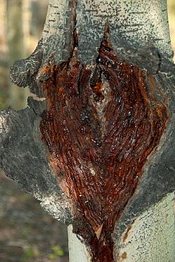 Quaking Aspen (Populus tremuloides) close-up of trunk, split during winter-fluids freezing and expanding, Whitehorse, Yukon, Canada, June  -  Chris & Tilde Stuart/ FLPA