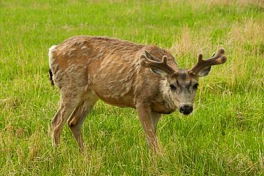 Mule Deer (Odocoileus hemionus) buck, with antlers in velvet and moulting winter coat, standing on grass, Whitehorse, Yukon, Canada, June  -  Chris & Tilde Stuart/ FLPA