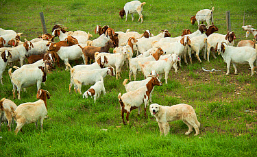 Domestic Dog, Akbash, adult, livestock guardian with Domestic Goat, Boer herd, protection in area with coyotes, Swift Creek, Saskatchewan, Canada, June  -  Chris & Tilde Stuart/ FLPA