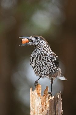 Spotted Nutcracker (Nucifraga caryocatactes caryocatactes) adult, with hazelnut in beak, perched on stump, Bialowieza National Park, Podlaskie Voivodeship, Poland, February  -  Robert Canis/ FLPA