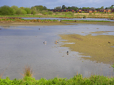 View of freshwater marshland habitat with housing estate in background, Doxey Marshes, Staffordshire Wildlife Trust Reserve, Staffordshire, England, May  -  Mike Lane/ FLPA