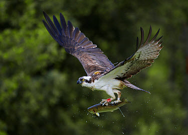 Osprey (Pandion haliaetus) adult, with radio tracking transmitter and rings on legs, in flight, taking off from loch with trout prey in talons, Aviemore, Cairngorms National Park, Grampian Mountains,...  -  Michael Durham/ FLPA