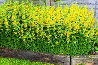 Yellow Loosestrife (Lysimachia vulgaris) flowering, growing beside fence in garden border edged by old sleepers, Norfolk, England, July  -  Gary K Smith/ FLPA