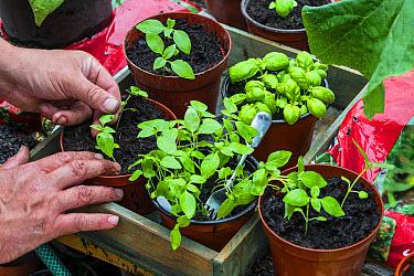 Gardener potting on Lemon Basil (Ocimum x citriodorum) seedings into pots, Norfolk, England, June  -  Gary K Smith/ FLPA