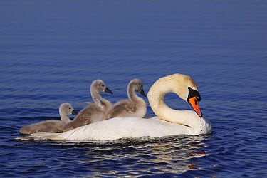 Mute Swan (Cygnus olor) adult, with two cygnets riding on back and one swimming beside, swimming on pool at site of former opencast coal mine, St. Aidan's RSPB Reserve, West Yorkshire, England, July  -  Paul Miguel/ FLPA