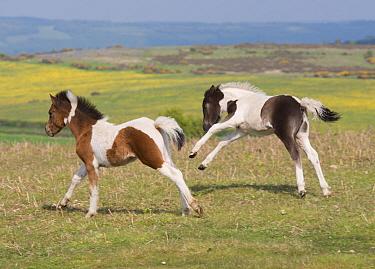 Horse, Dartmoor Pony, two foals, galloping on moorland, Dartmoor, Devon, England, June  -  John Eveson/ FLPA