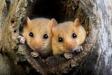 Hazel Dormouse (Muscardinus avellanarius) adult pair, at nesthole entrance in tree trunk, Normandy, France  -  Gerard Lacz/ FLPA