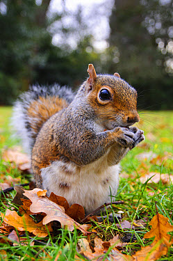 Eastern Grey Squirrel (Sciurus carolinensis) introduced species, adult, feeding on nut, sitting on grass amongst fallen oak leaves, Greenwich Park, Greenwich, London, England, December  -  Dave Pressland/ FLPA