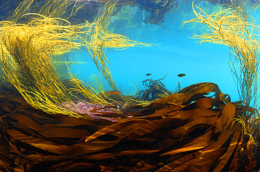 Sea-thong (Himanthalia elongata) and kelp fronds, in underwater habitat, Kimmeridge Bay, Isle of Purbeck, Dorset, England, July  -  Steve Trewhella/ FLPA