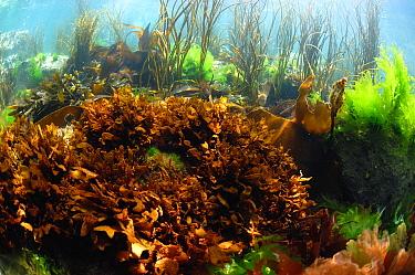 False Irish Moss (Mastocarpus stellatus) in underwater habitat, Pondfield Cove, Isle of Purbeck, Dorset, England, July  -  Steve Trewhella/ FLPA