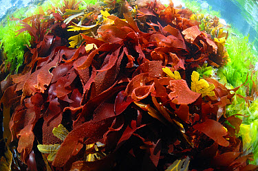 Red Rags Seaweed (Dilsea carnosa) fronds underwater, Pondfield Cove, Isle of Purbeck, Dorset, England, July  -  Steve Trewhella/ FLPA