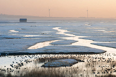 View of frost covered flooded coastal grazing marsh marsh habitat with ducks at sunrise, with wind turbines in distance, Elmley Marshes N.N.R., North Kent Marshes, Isle of Sheppey, Kent, England, Marc...  -  Robert Canis/ FLPA