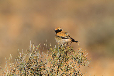 Desert Wheatear (Oenanthe deserti) adult male, breeding plumage, perched on bush, Morocco, March  -  John Hawkins/ FLPA