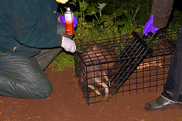 Eurasian Badger (Meles meles) bovine tuberculosis vaccination scheme, badger in live trap being clipped and sprayed by Wildlife Trust personnel to mark it after being vaccinated, Shropshire, England,...  -  John Hawkins/ FLPA