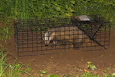 Eurasian Badger (Meles meles) bovine tuberculosis vaccination scheme, badger in live trap, Shropshire, England, June  -  John Hawkins/ FLPA