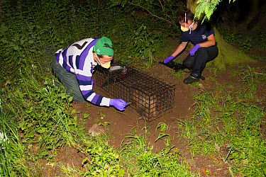 Eurasian Badger (Meles meles) bovine tuberculosis vaccination scheme, badger in live trap being vaccinated by Wildlife Trust personnel, Shropshire, England, June  -  John Hawkins/ FLPA