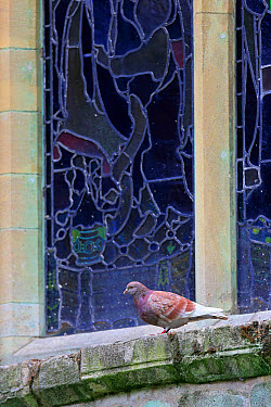 Feral Pigeon (Columba livia) adult, perched beside stained glass window on cathedral, Norwich Cathedral, Norwich, Norfolk, England, June  -  Robin Chittenden/ FLPA
