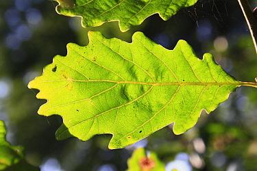 Turkey Oak (Quercus cerris) close-up of leaf underside, growing in woodland, Vicarage Plantation, Mendlesham, Suffolk, England, August  -  Marcus Webb/ FLPA