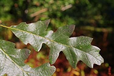Turkey Oak (Quercus cerris) close-up of leaf, growing in woodland, Vicarage Plantation, Mendlesham, Suffolk, England, August  -  Marcus Webb/ FLPA