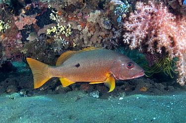 One-spot Snapper (Lutjanus monostigma) adult, swimming at shipwreck, USAT Liberty (US Army transport ship torpedoed during WWII), Tulamben, Seraya, Bali, Lesser Sunda Islands, Indonesia, April  -  Colin Marshall/ FLPA