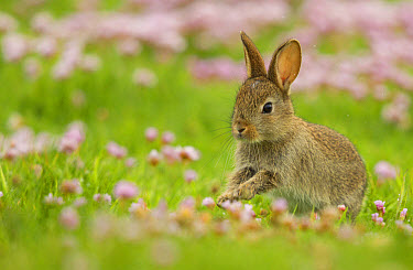 European Rabbit (Oryctolagus cuniculus) young, running amongst Thrift (Armeria maritima) flowers, Scotland, June  -  Paul Hobson/ FLPA