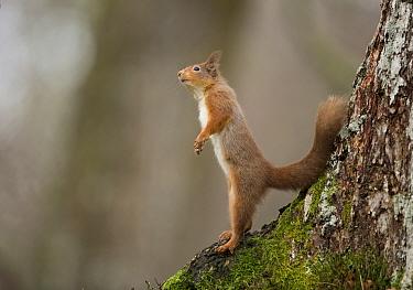 Eurasian Red Squirrel (Sciurus vulgaris) adult, standing on back legs at base of tree, Scotland, January  -  Paul Hobson/ FLPA
