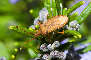 Box Bug (Gonocerus acuteangulatus) adult, feeding on Rosemary (Rosmarinus officinalis) bush in garden, Seaford, East Sussex, England, May  -  Richard Becker/ FLPA