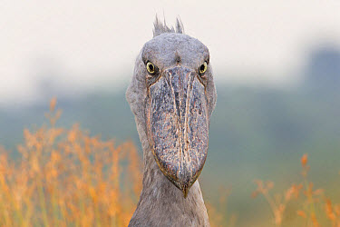 Shoebill (Balaeniceps rex) adult, close-up of head, Mabamba Swamp, Mabamba Bay, Lake Victoria, Entebbe, Uganda, June  -  Martin Hale/ FLPA