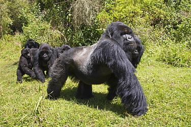 Mountain Gorilla (Gorilla beringei beringei) 'silverback' alpha male, leading family group into clearing, Volcanoes National Park, Virunga Mountains, Rwanda, June  -  Martin Hale/ FLPA