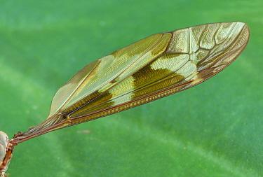 Giant Cranefly (Tipula maxima) adult, close-up of wing, Cannobina Valley, Italian Alps, Piedmont, Northern Italy, July  -  Gianpiero Ferrari/ FLPA
