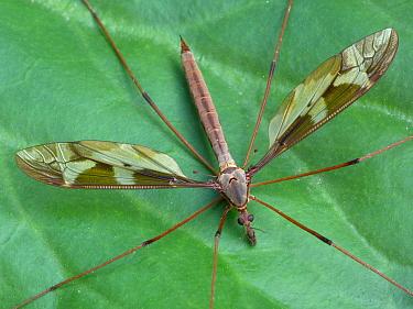 Giant Cranefly (Tipula maxima) adult, resting on leaf, Cannobina Valley, Italian Alps, Piedmont, Northern Italy, July  -  Gianpiero Ferrari/ FLPA