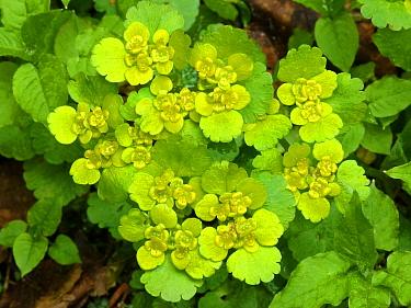 Opposite-leaved Golden Saxifrage (Chrysosplenium oppositifolium) flowering, Dolomites, Italian Alps, Italy, June  -  Gianpiero Ferrari/ FLPA