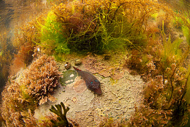 Shore Clingfish (Lepadogaster lepadogaster) adult, resting on rock amongst seaweed in rockpool habitat, Cornwall, England, April  -  Jack Perks/ FLPA