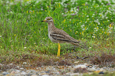 Eurasian Stone-curlew (Burhinus oedicnemus) adult, standing amongst wildflowers, Lemnos, Greece, May  -  Richard Brooks/ FLPA