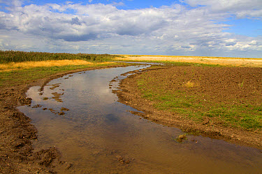 Burnham Overy Marsh, recently cut by a rotary cutter these shallow channels are designed to hold standing water and create new wetland habitats for wading birds and waterfowl  -  David Hosking/ FLPA