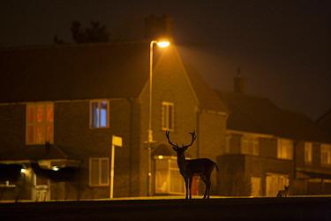 Fallow Deer (Dama dama) bucks, silhouetted on urban estate at night, London, England, March  -  Jamie Hall/ FLPA