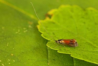 Horehound Longhorn Moth (Nemophora fasciella) adult, resting on leaf, Norfolk, England, July  -  Neil Bowman/ FLPA