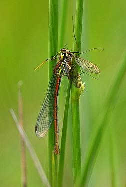 Large Red Damselfly (Pyrrhosoma nymphula) adult, feeding on cranefly prey, Norfolk, England, June  -  Neil Bowman/ FLPA