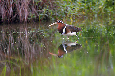 Greater Painted-snipe (Rostratula benghalensis) adult female, standing in shallow water with reflection, Hong Kong, China, February  -  Martin Hale/ FLPA