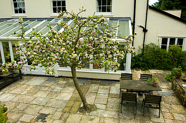 A Bramley apple tree in full blossom just outside a large conservatory at the back of a Georgian house in Devon  -  Nigel Cattlin/ FLPA