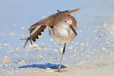 Willet (Catoptrophorus semipalmatus) adult, non-breeding plumage, stretching wing and leg, standing on beach, Florida, U.S.A., February  -  Kevin Elsby/ FLPA