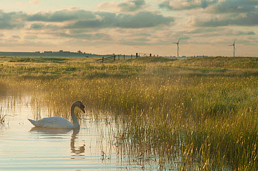 Mute Swan (Cygnus olor) adult, swimming on pool in marshland habitat at sunrise, with wind turbines in distance, Elmley Marshes N.N.R., North Kent Marshes, Isle of Sheppey, Kent, England, June  -  Robert Canis/ FLPA