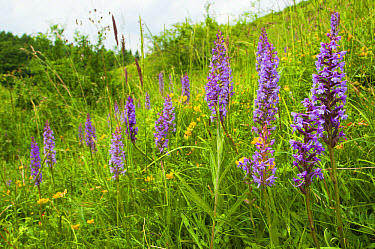 Fragrant Orchid (Gymnadenia conopsea) flowerspikes, group growing amongst grass on slope, Kent, England, June  -  Robert Canis/ FLPA