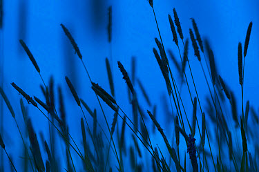 Timothy Grass (Phleum pratense) flowerspikes, silhouetted at twilight, Kent, England, May  -  Robert Canis/ FLPA