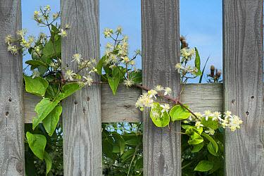 Old Man's Beard (Clematis vitalba) flowering, scrambling over picket fence, Norfolk, England, August  -  Gary K Smith/ FLPA
