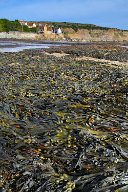 Bladder Wrack (Fucus vesiculosus) fronds on beach tideline at low tide, Robin Hood's Bay, North York Moors National Park, North Yorkshire, England, September  -  Gary K Smith/ FLPA