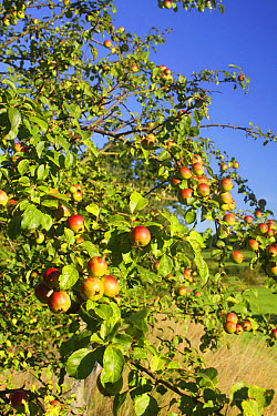 Wild Crabapple (Malus sylvestris) close-up of leaves and fruit, growing at field edge in farmland, West Yorkshire, England, September  -  Paul Miguel/ FLPA
