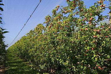 Heavily fruiting ripe cordon apples on the trees under shade netting near Sainte-Foy-la-Grande, Gironde, France, August  -  Nigel Cattlin/ FLPA